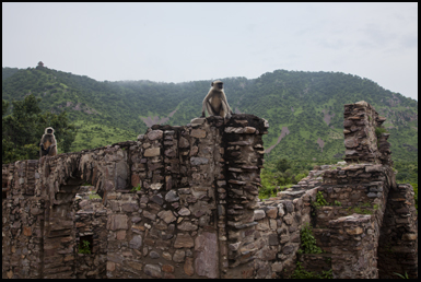 Monkeys on the walls of the haunted Bhangara Fort in Rajasthan, India
